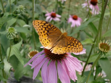 A Great Spangled Fritillary, I think (Speyeria cybele) http://www.butterfliesandmoths.org/species/Speyeria-cybele