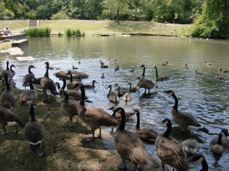 The gaggle of geese that flocked about my children at McKinley Monument Park.