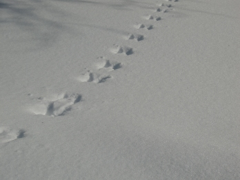 My son says these are moose tracks. That makes the fact that they disappear at a tree trunk a little disturbing.