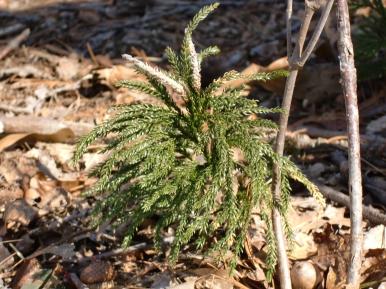 Lycopodium dendroideum