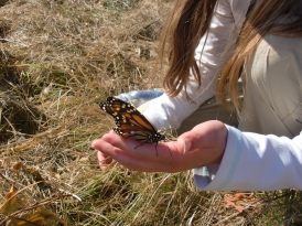My daughter helps a monarch with wrinkled wings reach some goldenrod for a meal.
