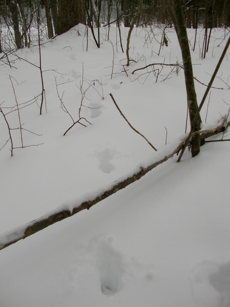 Deer tracks.