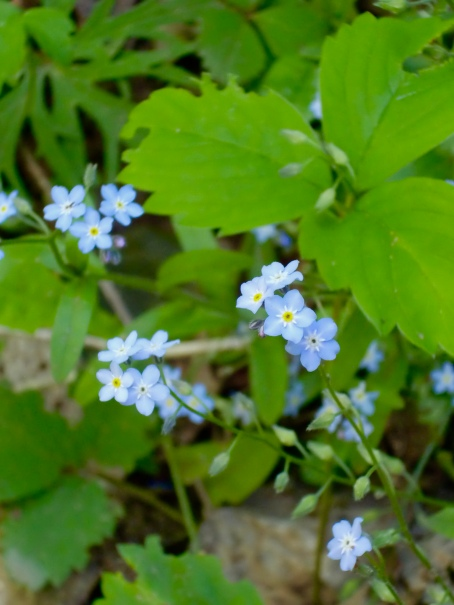 Forget-me-nots along the Haunted Wood Trail.