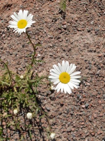 Flowers in Cavendish