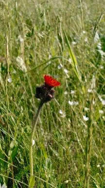 Flower in Cavendish