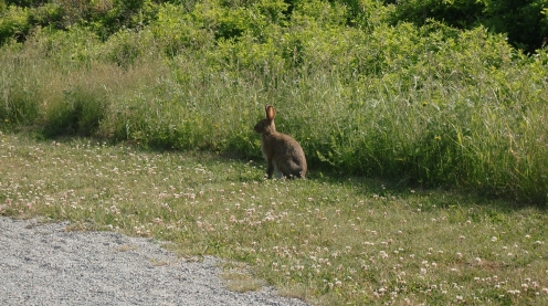 "A ""big bunny"" (we think a snowshoe hare) in Cavendish."
