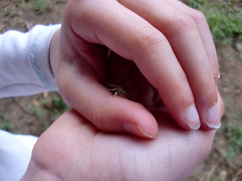 male gypsy moth (Lymantria dispar dispar)