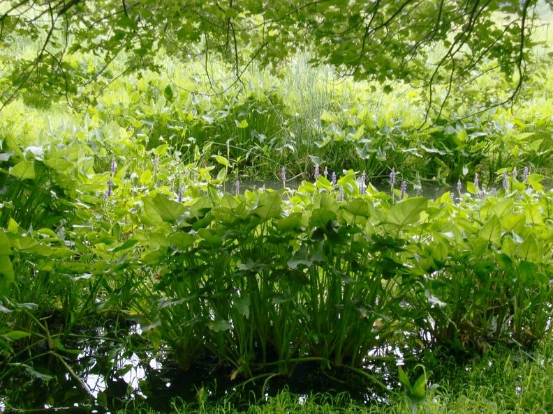 pickerel weed (Pontederia cordata) in bloom