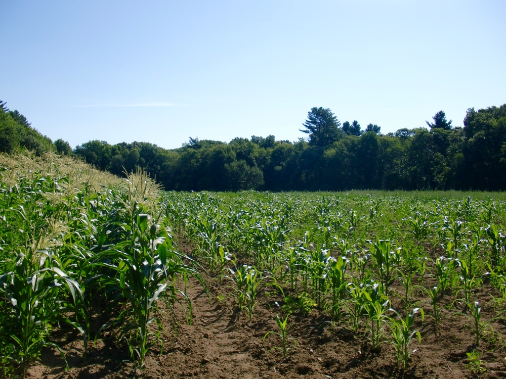corn, both tall and short