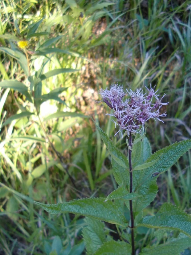 either hollow joe-pye weed (Eutrochium fistulosum) or spotted joe-pye weed (Eutrochium maculatum)