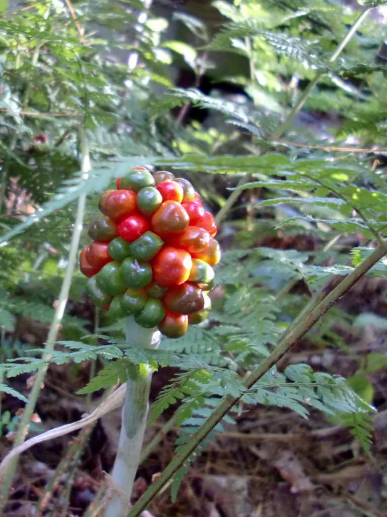 jack-in-the-pulpit (Arisaema triphyllum) berries http://www.wildflower.org/gallery/result.php?id_image=10043