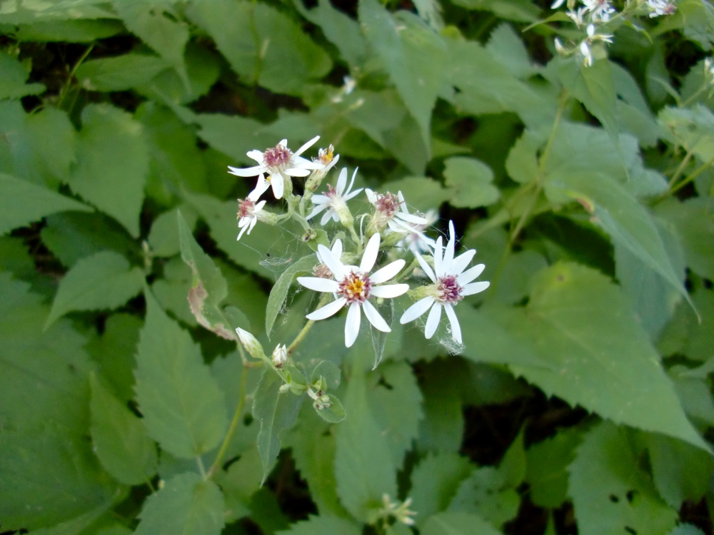maybe a whorled wood aster (Oclemena acuminata)