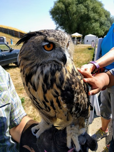 Petting a Eurasian eagle owl and dreaming of being a falconer.