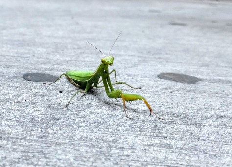 Praying mantis in the parking garage.
